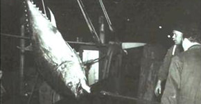 teaser picture tuna fishing north sea